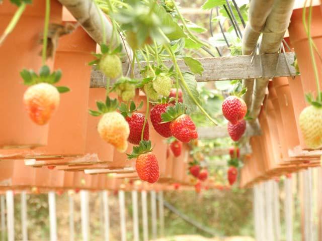 Buah strawberry segar! Petik sendiri lagi