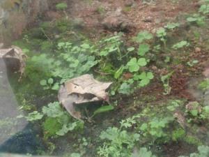 Taman Rama-rama : Malayan Bull Horn Frog